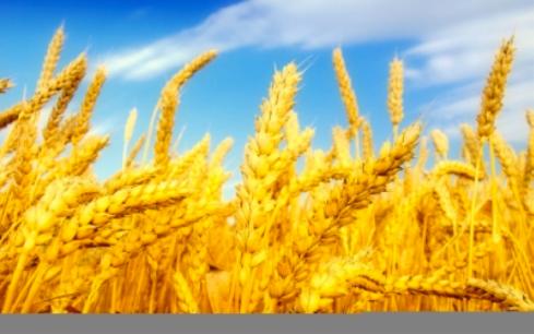 Wheat  (Fana foto)